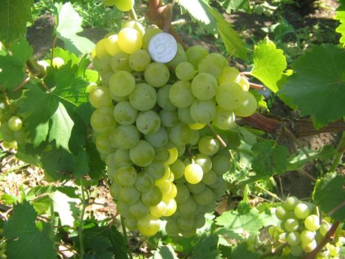 Кисть гибридного винограда сорта Галбена Ноу на ветке и монетка среди ягод