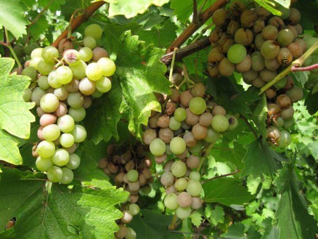 Грозди столового винограда с гнилыми ягодами коричневого цвета и осы