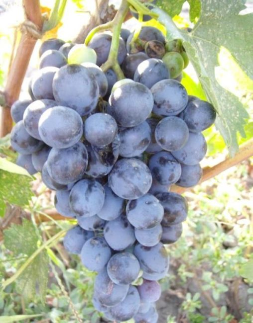 Конусовидная гроздь винограда гибридного сорта Бычий Глаз