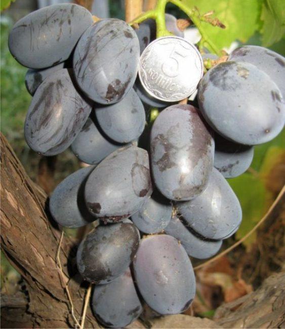 Гроздь винограда столового сорта Фуршетный вблизи и монетка среди темно-синих ягод