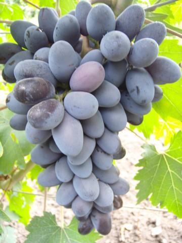 Виноградная кисть гибридной культуры Эталон на стадии технической зрелости