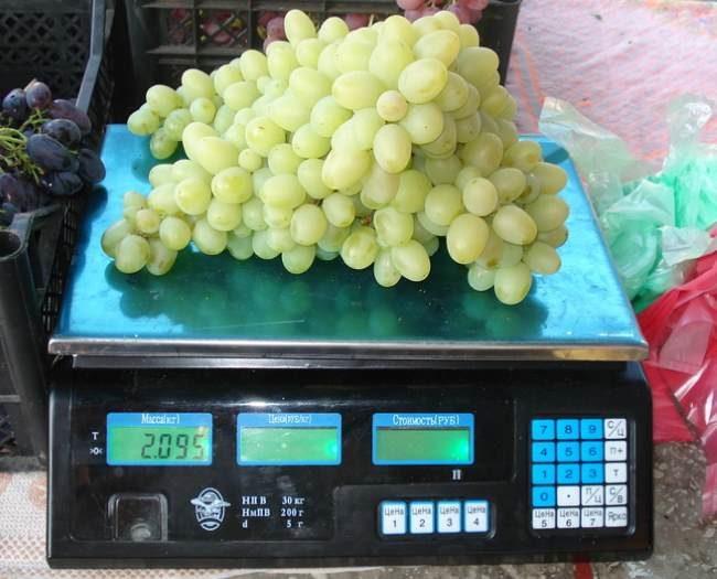 Крупная кисть винограда столового сорта Настя массой более 2 килограмм на товарных весах
