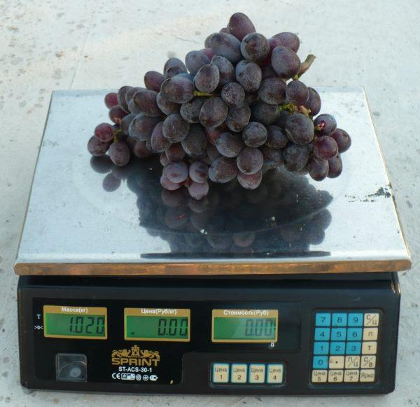 Крупная гроздь винограда Эталон массой в один килограмм на электронных весах