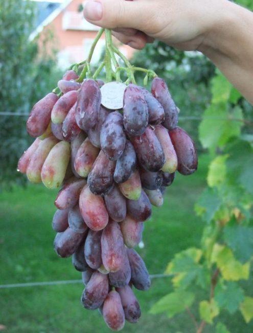 Виноградная гроздь сорта Маникюр Фингер в руке садовода и монетка среди ягод пестрой окраски
