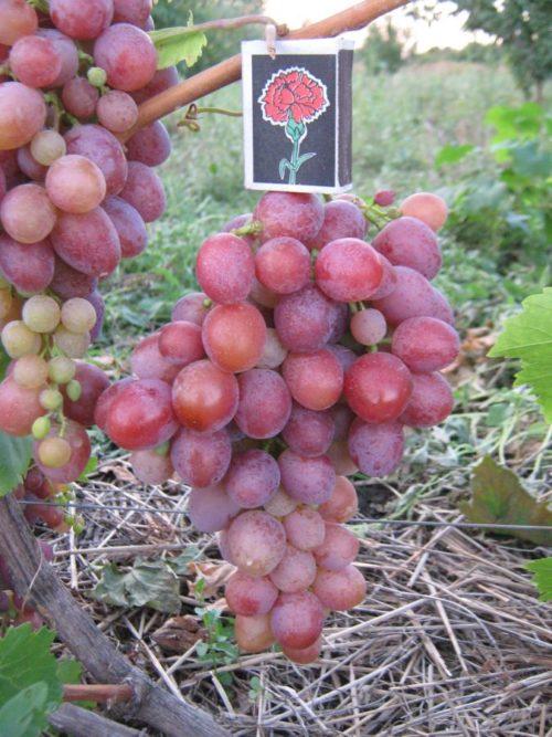 Крылатая гроздь винограда гибридной формы Сиреневый Туман и спичечный коробок
