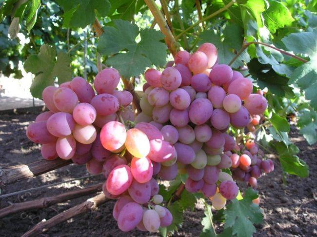 Красивые крупные кисти столового винограда с насыщенно розовыми ягодами