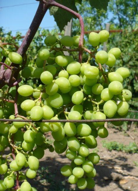 Кисть винограда с зелеными плодами на ветке с красноватым оттенком