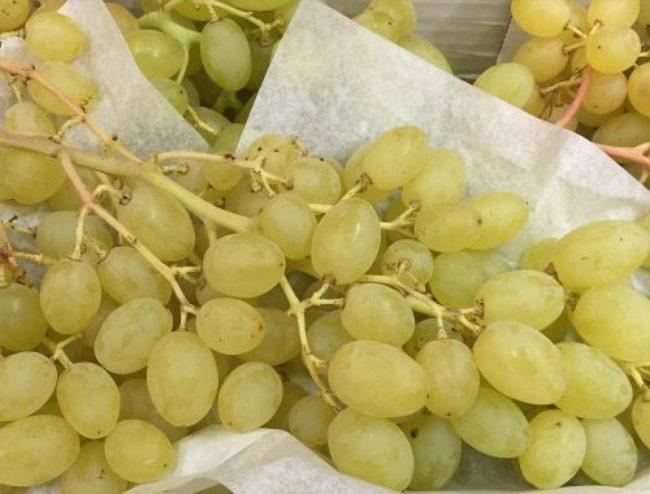 Крупная кисть винограда американского сорта Столетие в стадии полной спелости