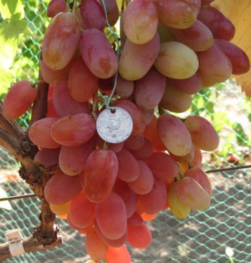 Кисть спелого винограда Потомок Ризаната с плодами рубиново-янтарного окраса