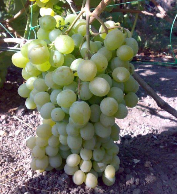 Крупная кисть винограда сорта Талисман с овальными ягодами янтарно-зеленого окраса