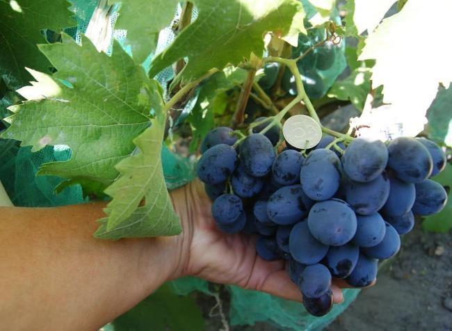 Коническая гроздь синего винограда в руке садовода и монетка на ягодах