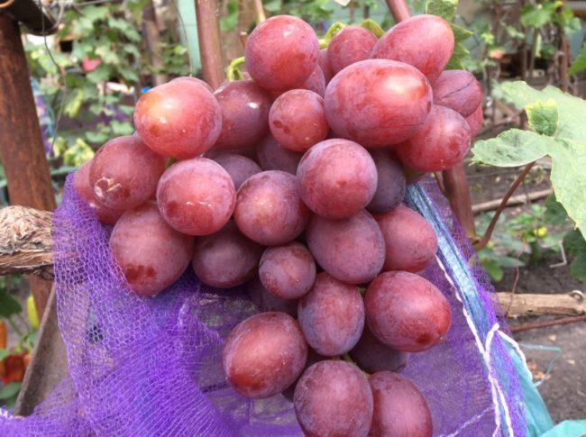 Крупная кисть розового винограда сорта Джони селекционера Павловского