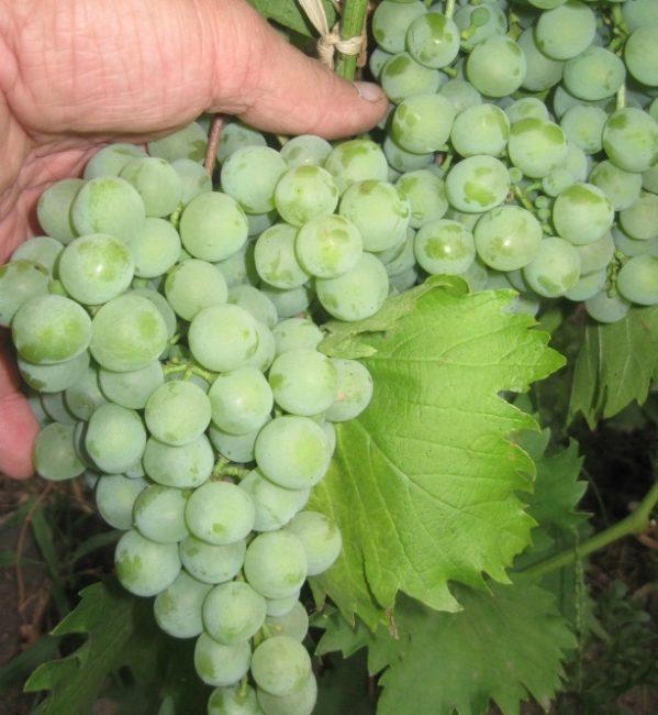 Небольшая гроздь винограда универсального предназначения сорта Дружба