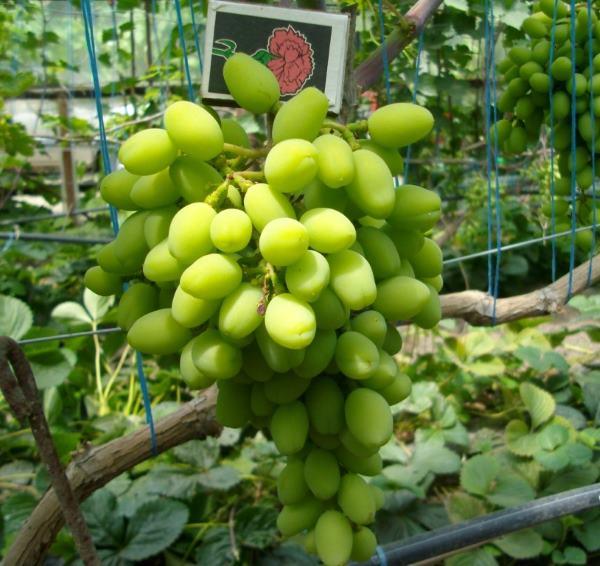 Гроздь винограда с зелеными ягодами в начале срока созревания и спичечный коробок