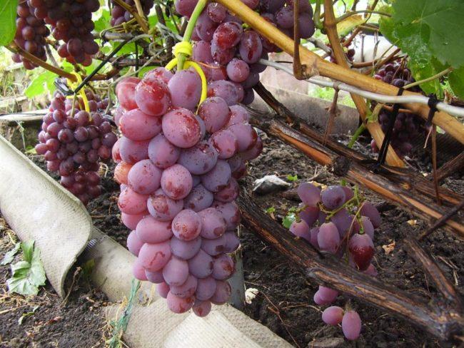 Цилиндрическая гроздь винограда гибридного сорта Памяти Хирурга