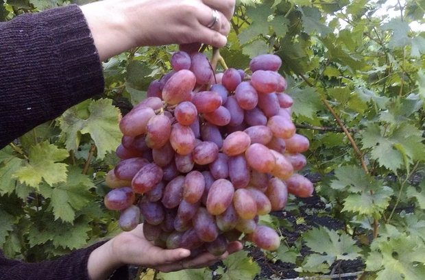 Крупная кисть винограда Малиновый Супер с большими ягодами вытянутой формы