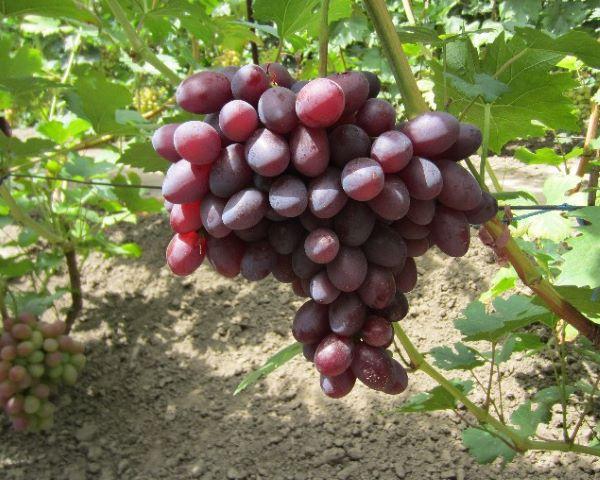 Крупная кисть винограда столового сорта с фиолетовыми плодами в форме дамского пальчика