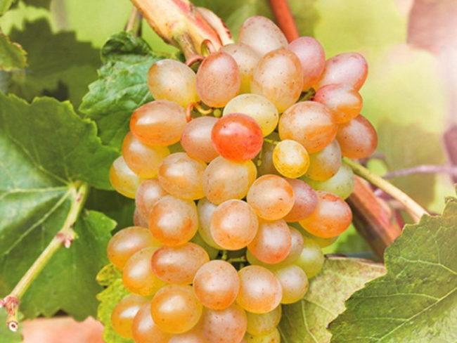 Кисть винограда с плодами розово-янтарного цвета, изменившая окраску под длительным воздействием прямых солнечных лучей