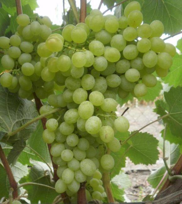 Виноградные грозди средней величины в стадии технической спелости
