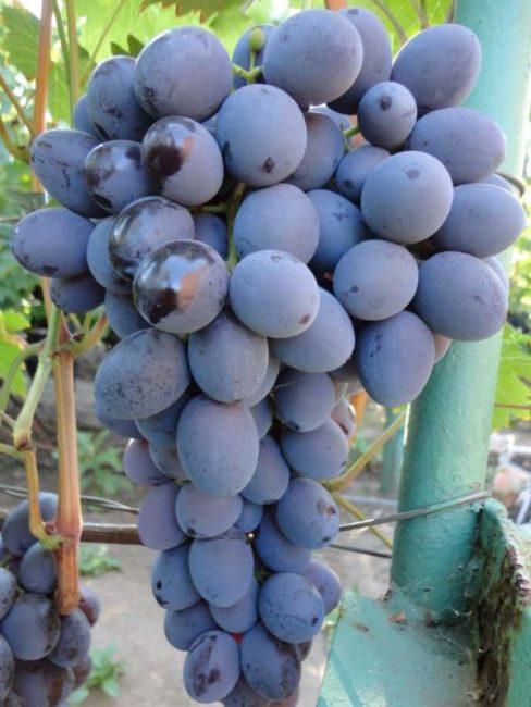 Гроздь синего винограда гибридного сорта Атаман Павлюк вблизи