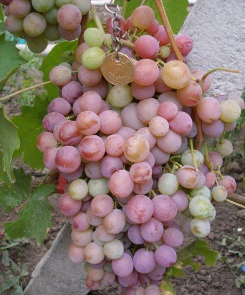 Крупная кисть винограда с плодами сиренево цвета с розовым оттенком