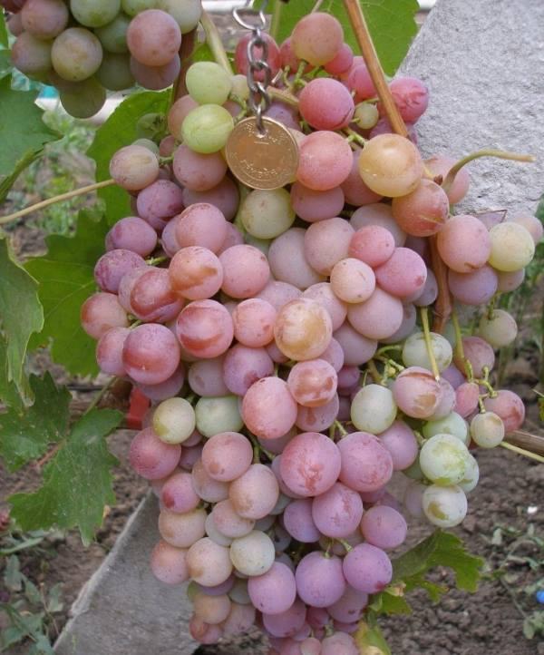 Сорт винограда сиреневый туман описание