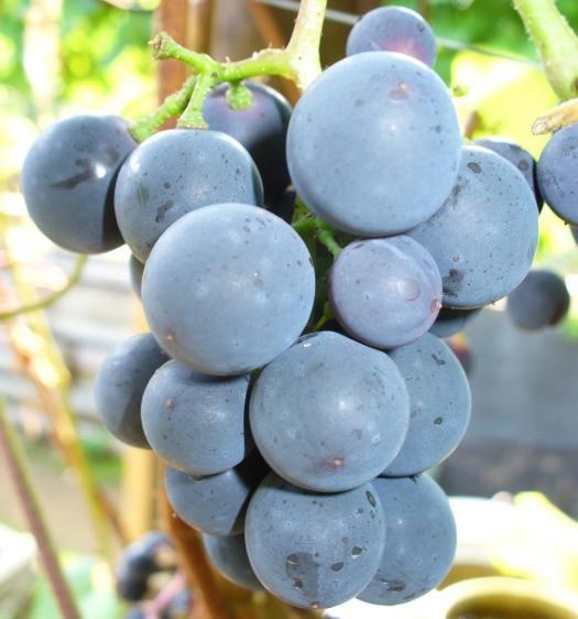 Кисть винограда сорта Таежный крупным планом с темно-синими плодами
