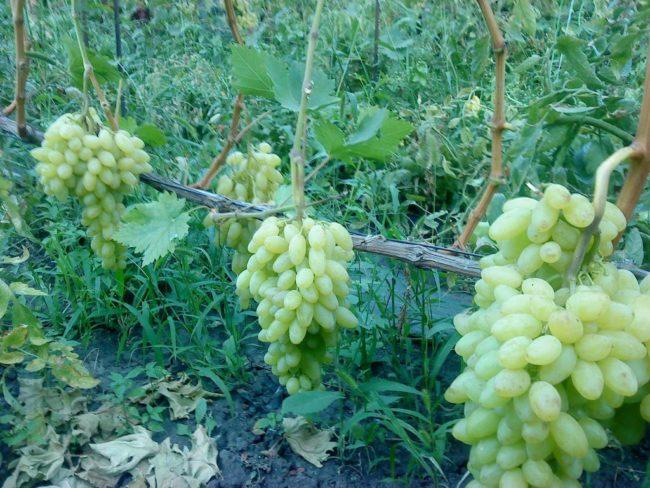 Толстая одеревеневшая ветка винограда вдоль проволоки шпалеры и нагрузка по две кисти на лозу
