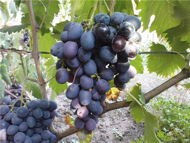 Согревающая гроздь винограда с овальными плодами темно-синего окраса