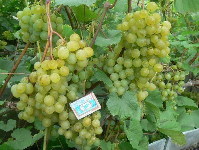 Крупные кисти винограда гибридного сорта Краса Севера и спичечный коробок
