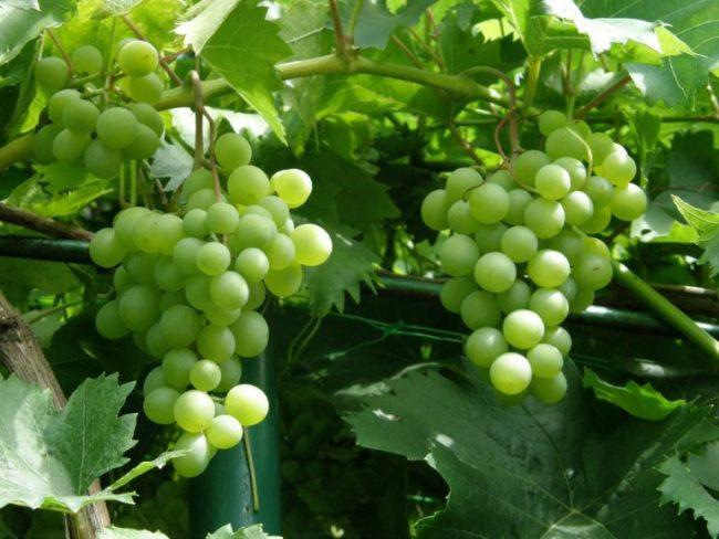 Виноградная лоза на верхушке шпалеры и красивые грозди зеленых плодов