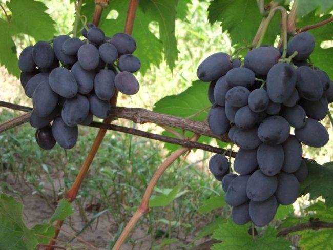 Две кисти винограда Руслан средней рыхлости на одеревеневших ветках