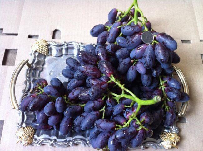 Грозди спелого винограда Князь Трубецкой с продолговатыми ягодами сине-фиолетового цвета