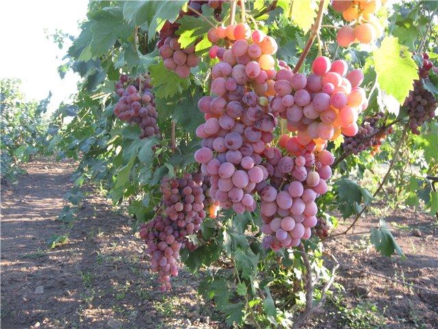 Куст винограда сорта Низина с гроздьями созревающих ягода светло-фиолетового оттенка