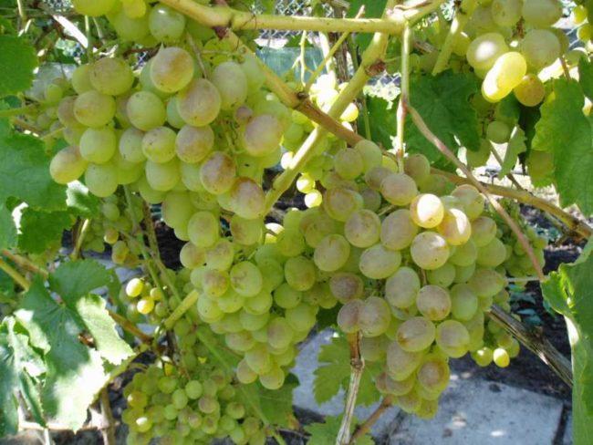 Грозди винограда Восторг мускатный на лозе