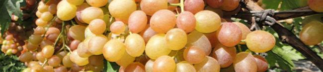 Спелые плоды винограда Хамелеон