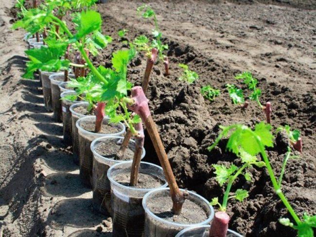 Саженцы винограда в пластиковых стаканчиках