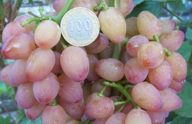 Ягода столового винограда бессемянного сорта Лучистый крупным планом и монетка