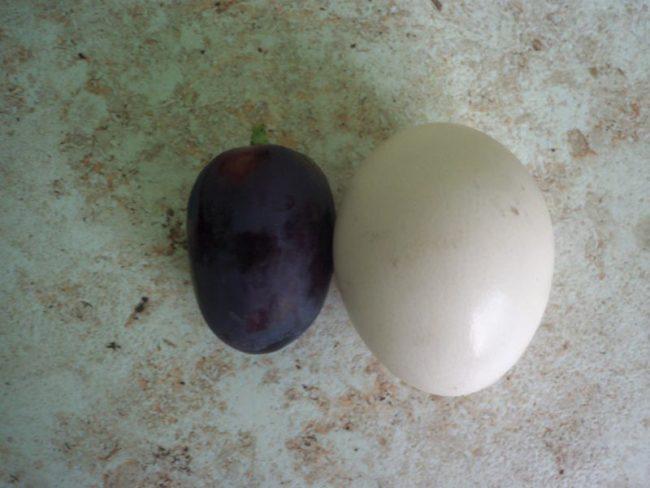 Спелый плод винограда сорта Краса Балок темно-синего цвета и куриное яйцо