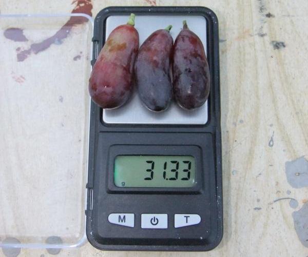 Три плода винограда японской селекции сорта Маникюр Фингер на весах