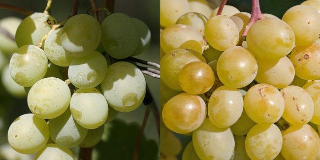 Плоды винограда столового сорта Талисман в различных стадиях созревания