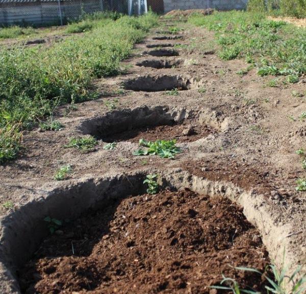 Посадочные ямы с перегноем в длинном ряду для плодового винограда