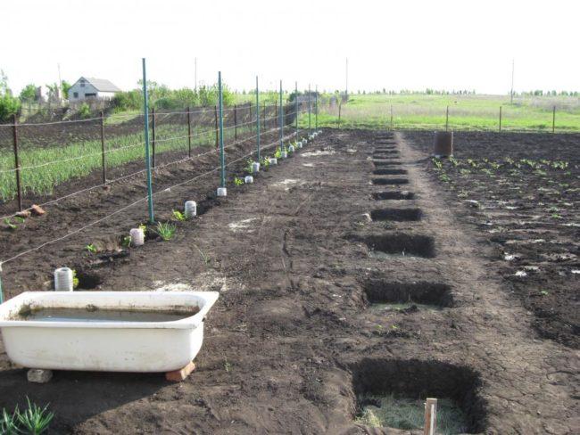 Закладка посадочных ям на новом винограднике и чугунная ванна с водой