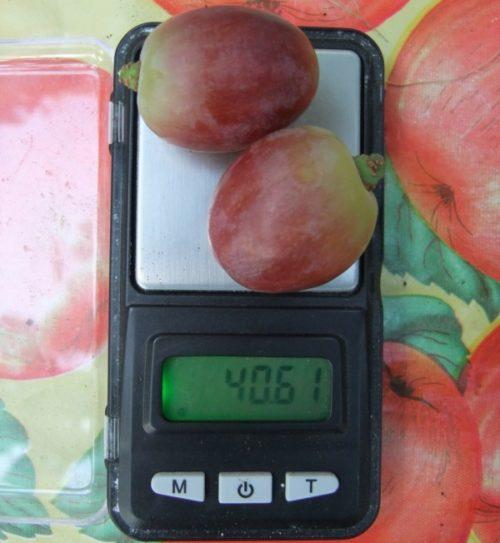 Две ягоды винограда гибридной формы Эверест на карманных весах