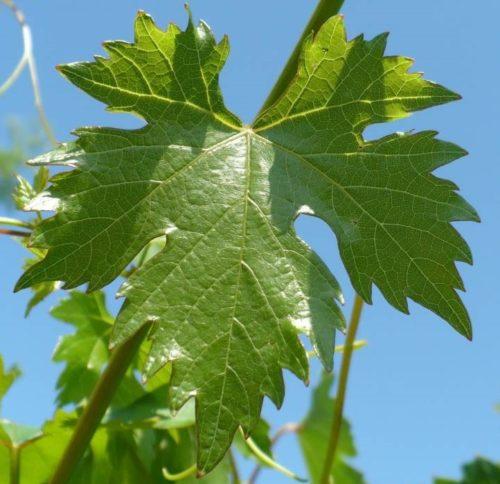 Пятилопастной, сильнорассеченный лист виногрда сорта Эверест
