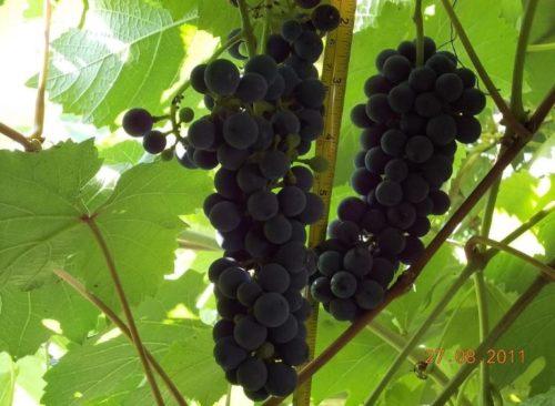 Вытянутые грозди технического винограда сорта Каберне Северный