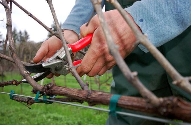 Мужчина красным секатором обрезает боковые побеги винограда