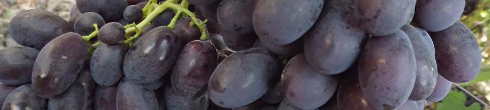 Спелые плоды винограда Каталония вблизи на кисти