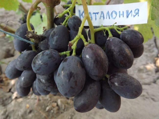 Небольшая сигнальная гроздь винограда гибридной культуры Каталония