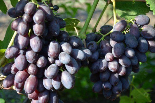 Две грозди винограда гибридной формы Каталония с ягодами темно-фиолетового цвета